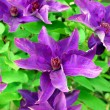 Clematis — Stock Photo #2430461