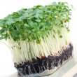 Salad cress - Stock Photo