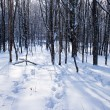 Snow-covered forest and tracks on snow. — Stock Photo