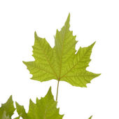 Maple leaf. — Stock Photo