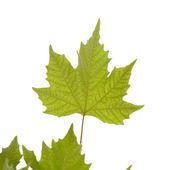 Maple leaf. — Stock Photo