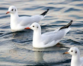Seagull floating in sea. — Stock Photo