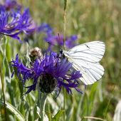 Vlinder aan Blauwe bloem. — Stockfoto