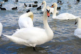 Swans and seagulls on the shore — Stock Photo