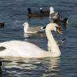 Foto Stock: Floating swan