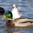 Beautiful Duck — Stock Photo #1925857