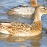 Beautiful duck. — Stock Photo #1925890