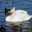 Floating swan — Stockfoto #2172442