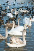 Waterfowl — Stock Photo