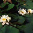 White water lillies — Stock Photo