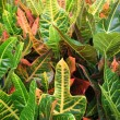 Royalty-Free Stock Photo: Croton