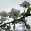Foto Stock: Cherry flowers