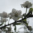 Stock Photo: Cherry flowers