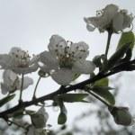 kiraz çiçekleri — Stok fotoğraf