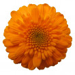 Orange flower — Stockfoto