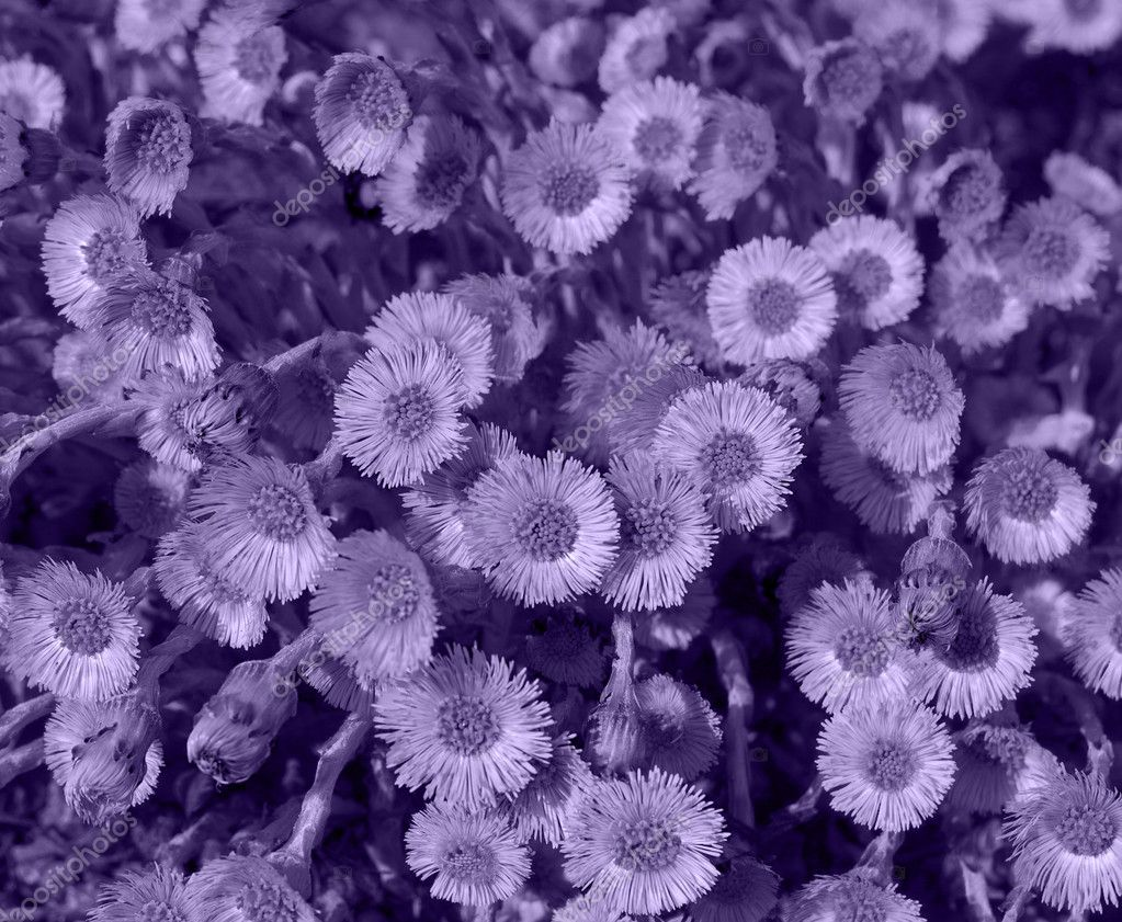 Violet flowers background  Stock Photo #1689691