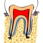 Постер, плакат: Normal tooth vector medical