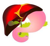 Hepatite b, hbv. sistema biliar — Vetorial Stock