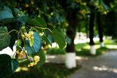 Fiore di tiglio. — Foto Stock