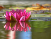 Pink water-lily in the pond. — Stock Photo