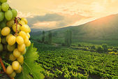 Green Grapes on vineyard background — Stock Photo