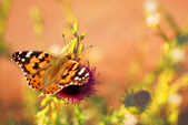 Vanessa cardui butterfly. — Stock Photo