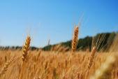 Rye field. — Stock Photo