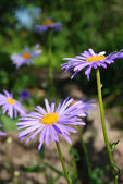 Aster alpinus — Stock Photo