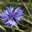 Cornflower — Stock Photo #1628402