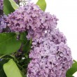 Syringa — Stock Photo #1630292