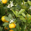 Tangerine tree - 