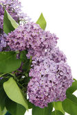 Syringa — Stock Photo