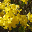 Forsythia — Stock Photo