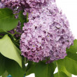 Syringa — Stock Photo #1647524