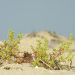 Sand bush — Stock Photo