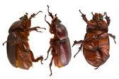 Brown beetle — Stock Photo