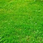 pelouse à la fleur de trèfle vert — Photo #1640009