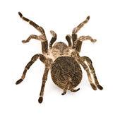 Spider tarantula — Stock Photo