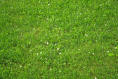 Lawn with green clover — Stock Photo