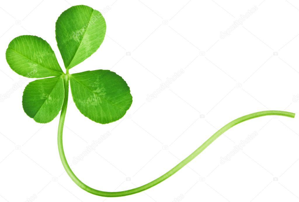 Four Leaf Clover isolated on white  — Stock Photo #1652844