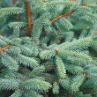 Blue spruce — Stock Photo #1699420