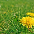 Stock Photo: Taraxacum