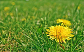 Taraxacum — Stock Photo