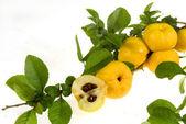 Chaenomeles japonica fruits — Stock Photo