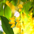 Stock Photo: Gold blossom flowers of Laburnum anagyro