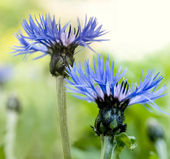 Cornflower close-up — Stock Photo