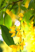 Gold blossom flowers of Laburnum anagyro — Stock Photo