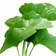 Stock Photo: Wet biloba