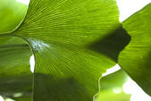 Biloba leaf close-up — Stock Photo