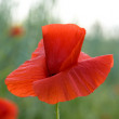 Papaver on morning  field - Stock Photo